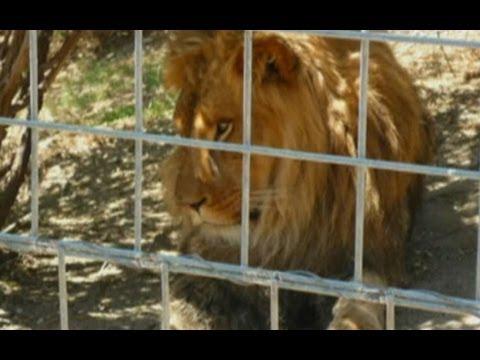 Lion kills worker at California wildlife park