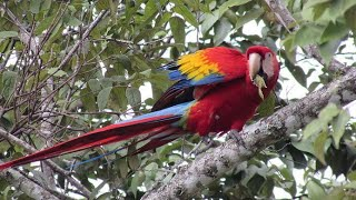 Biggest Scarlet Macaw In The World ! You Never Seen Before ! Biggest parrot In The World