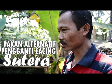 Video Cara Membuat Pakan Alternatif pengganti Cacing Sutera