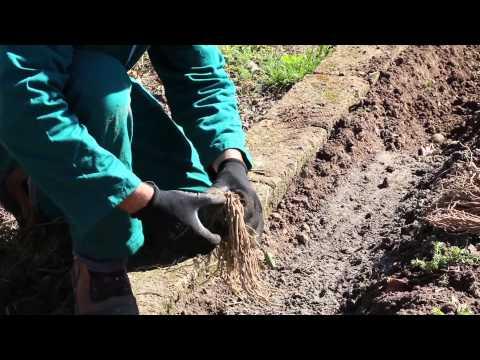 Piantare asparagi: le zampe di asparago