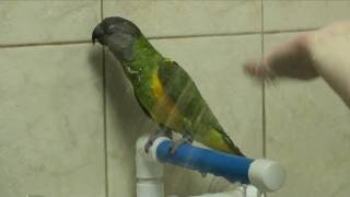 Kili Senegal Parrot & Duke Budgie Bird Showers