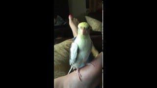 Смотреть онлайн Попугай поет мелодию iPhone
