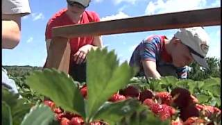 Strawberry Picking Season Begins In Southeastern Wisconsin