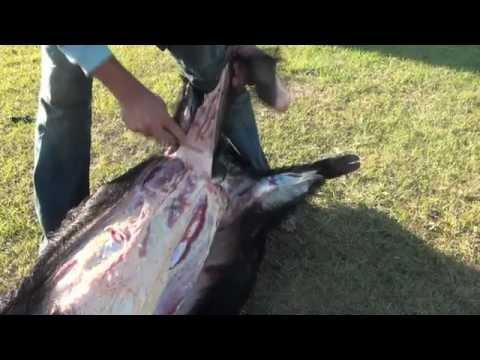 How to Cape and Quarter a Big Wild Boar Hog