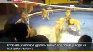 Лев напал на дрессировщика на арене цирка (видео)