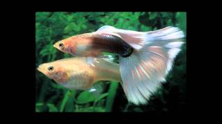 How To Breed Guppies