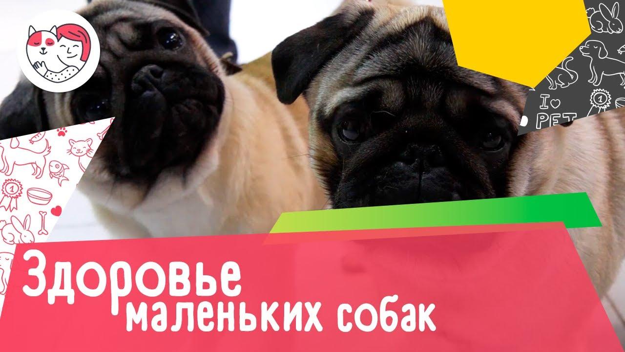 5 самых распространенных проблем со здоровьем у маленьких пород собак