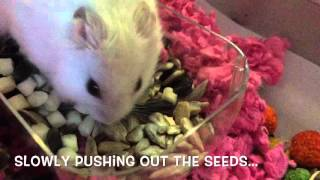 Hungry Hamster - big appetite!