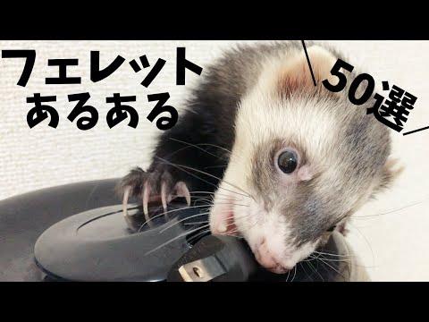 , title : 'フェレット可愛いあるある!50選!