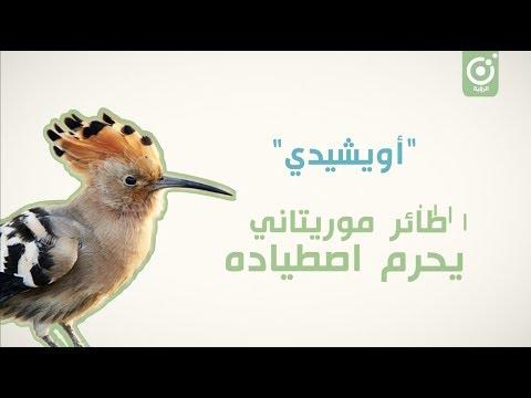 أويشيدي.. طائر يحرم اصطياده عند الموريتانيين
