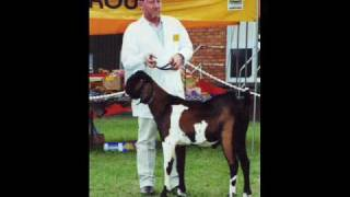Anglo Nubian show 2002 Queenlsand Australia