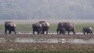 A herd of elphants wades through water in Kaziranga National Park | Kholo.pk