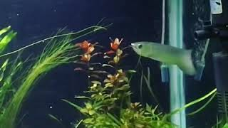 Asian arowana feeding  (lizard)