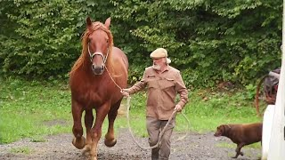 Rare Suffolk Punch Draft Horses To Demonstrate Skills In Dublin