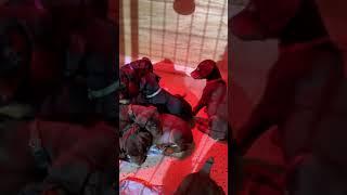 Doberman Pinscher Puppies Videos