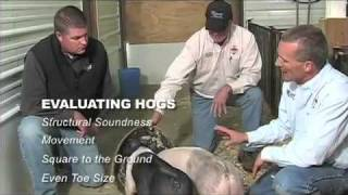 How to Evaluate Show Pigs