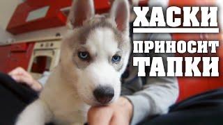 Хаски Лучшая собака в мире. Приносит тапки