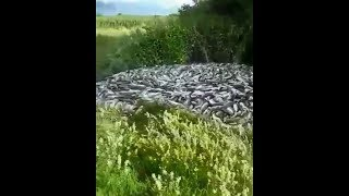 Рыбу выкидывают САМОСВАЛАМИ, Путина 2018 Камчатка