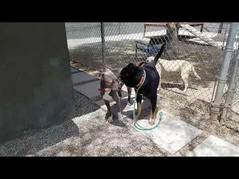 Pops, an adoptable Shepherd Mix in Pasadena, CA
