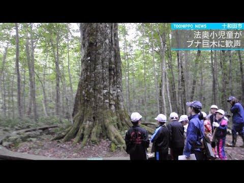 法奥小児童が「森の神」ブナ巨木に歓声/十和田