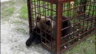 Как поймать медведя в капкан