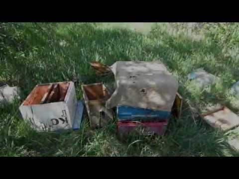 Пчеловодство. Противороевые методы на пасеке.Подсиливаю закрытым расплодом слабую семью или отводок.