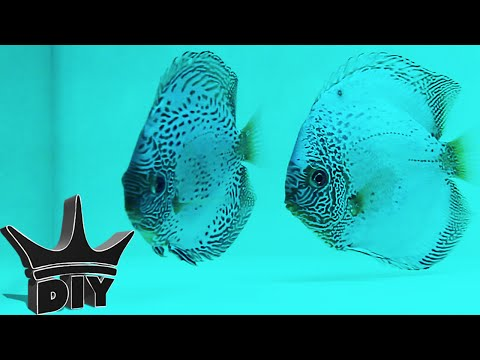 Breeding Discus