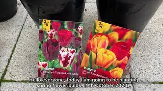 Planting spring flowers in October 2020