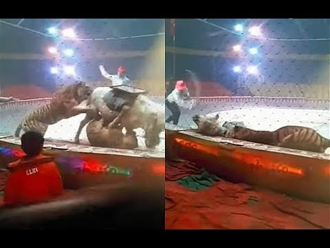 A tiger and a lioness attack a horse in a circus 2018
