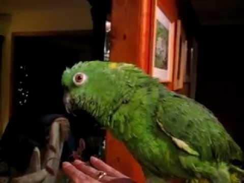 Cocomo: the funny talking bird!