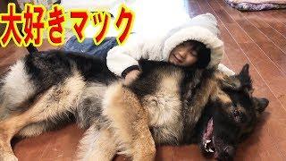 GermanShepherd.大型犬大好きな子供 ジャーマンシェパード犬.秋田犬