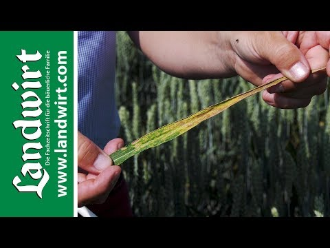 Ein Fungizid zum Schutz des Getreides - Ascra Xpro | landwirt.com
