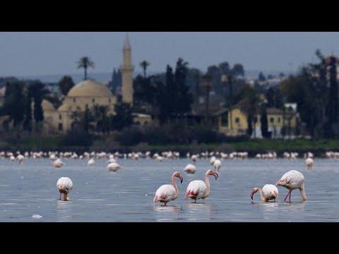 Κύπρος: Οι βροχές «απειλούν» τα σμήνη των φλαμίνγκο