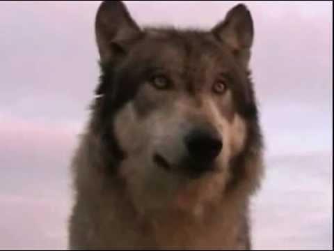 Вой волка\Wolfs howl