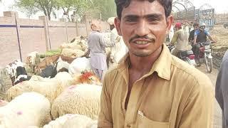 Sahiwal cow mandi ka Mall bakra mandi Pakistan Cow mandi