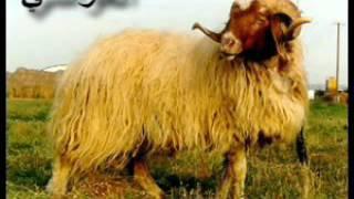 أسماء الغنم انواع الخرفان في العالم  و اسمائها