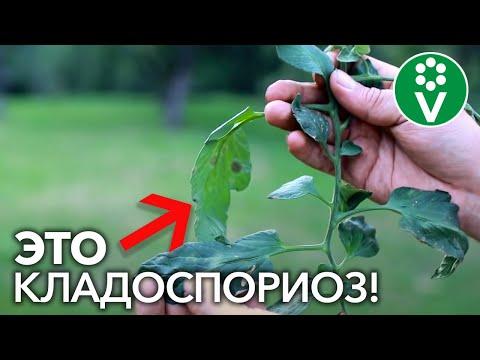 КЛАДОСПОРИОЗ (бурая пятнистость) томатов – враг теплиц №1. Лечение и профилактика болезни
