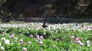 雨森芍薬観光農園とルピナス園
