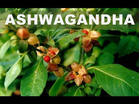 Estos son los 5 mejores beneficios de la Ashwagandha para la salud del cuerpo