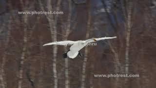 飛翔するオオハクチョウ