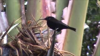 preview picture of video 'nektarnik ametystowy (Chalcomitra amethystina), Amethyst Sunbird, Swartsuikerbekkie'