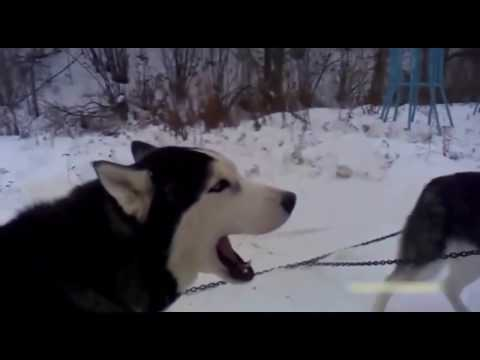 Husky Screams Like A Human!!