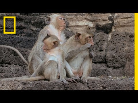 The Monkey Festival | National Geographic thumbnail