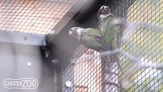 preview picture of video 'Rare Parrots Hatch at Chester Zoo'