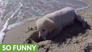 Puppy furious after ocean water destroys his sandcastle | Kholo.pk