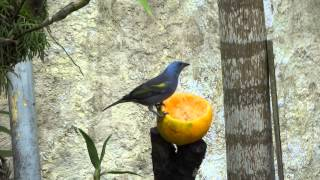 Sanhaço ou Sanhaçu de Encontro Amarelo ( Tangara Ornata )