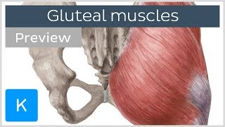 What are the Gluteal Muscles? (preview) - Human Anatomy | Kenhub