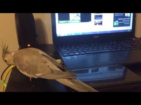Настойчивый попугай