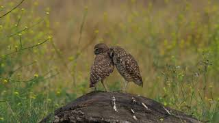 Tranquil Focus: Burrowing Owls' Time!   HD 720p