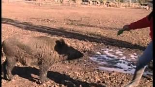 preview picture of video 'Emprendimiento de jabalíes puros en Suipacha. (#464 2012-06-16)'